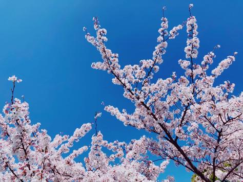 "Beautiful of Japan ""Sakura"""