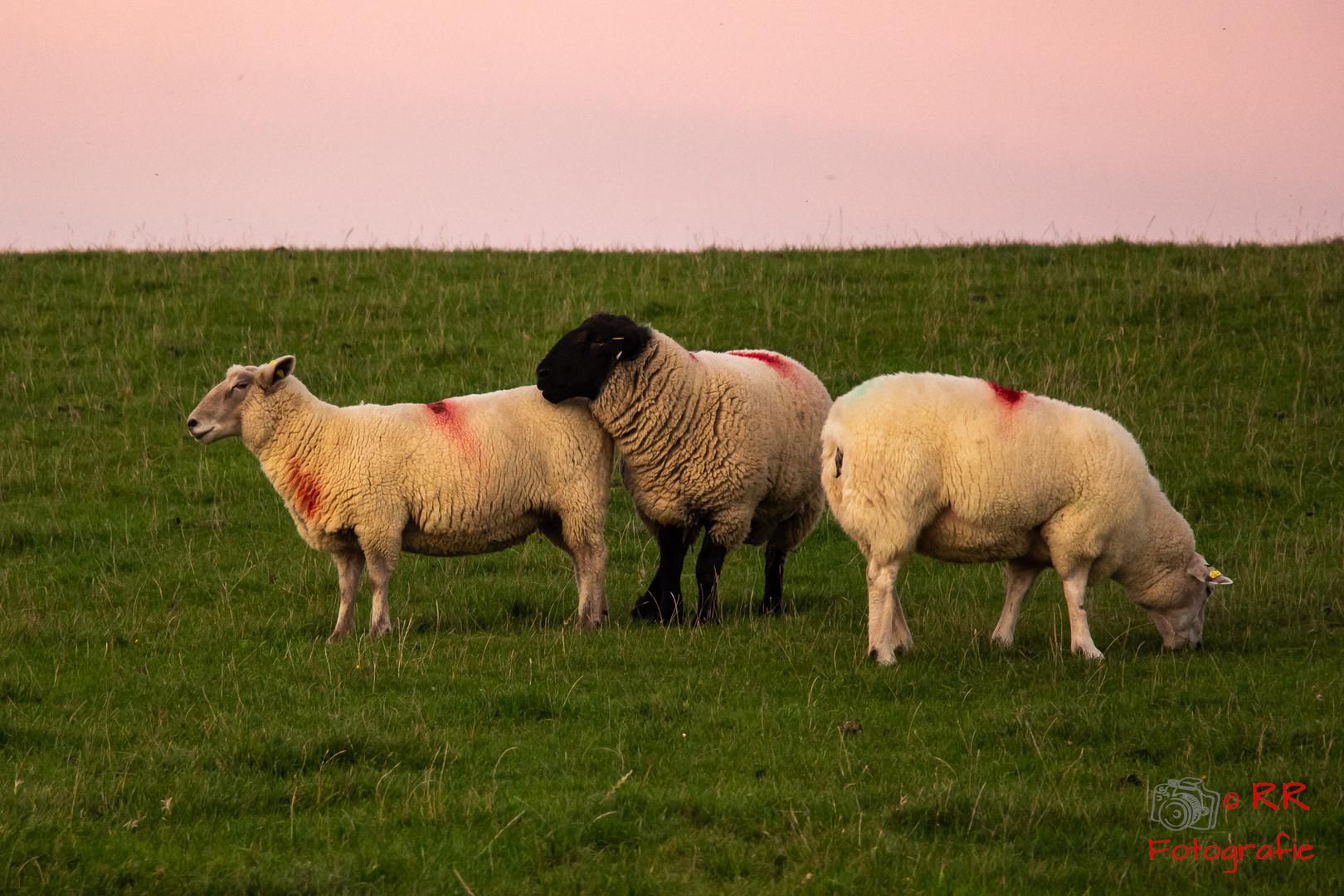 2018.10.10 Speicherkoog Schafe und Sonne