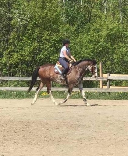 Horse training, hunter/jumper, Thoroughbred, equestrian