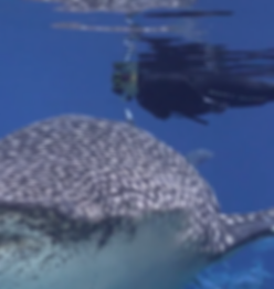 WhaleShark4.png
