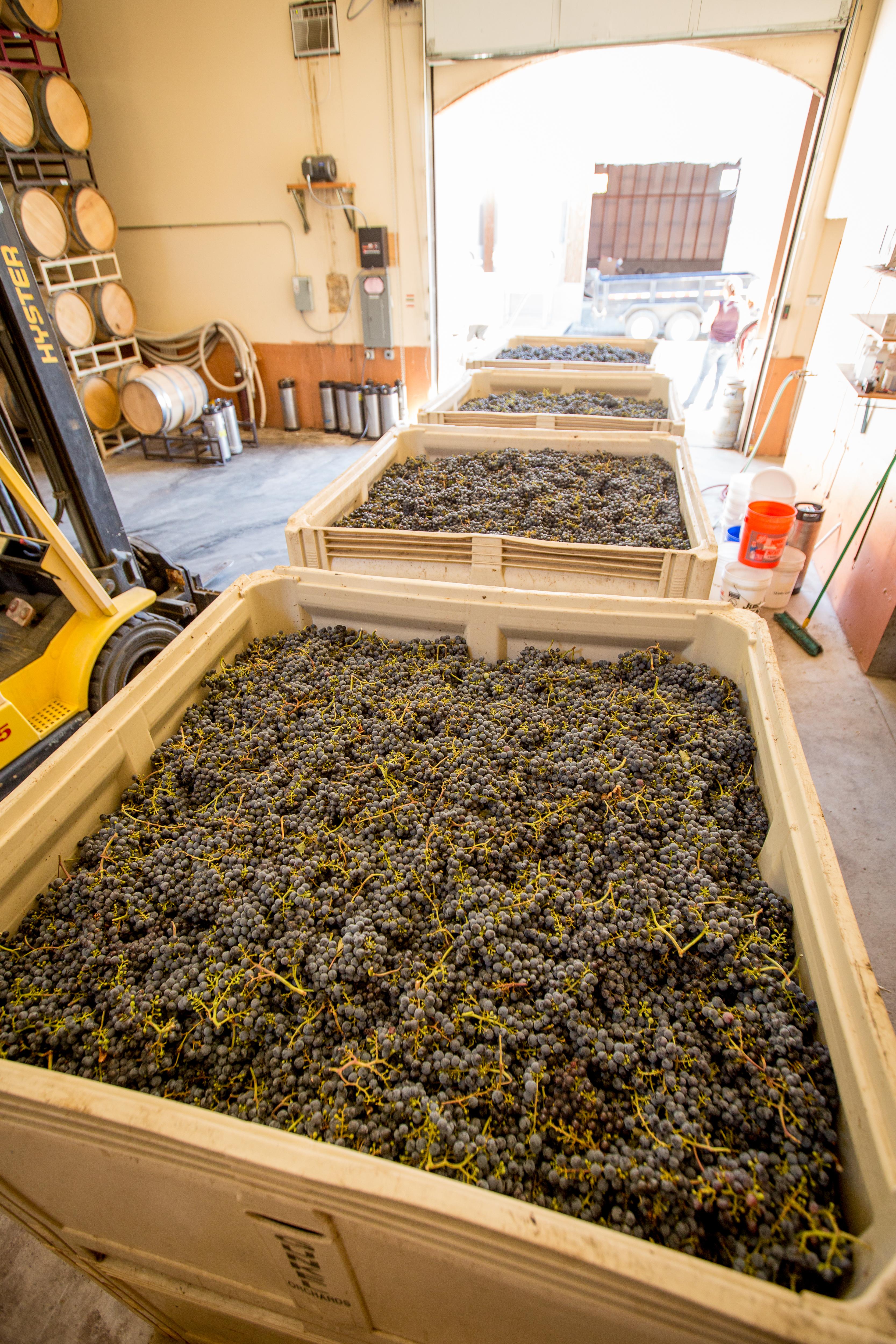 Jacob_Williams_Winery_harvest