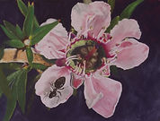 My Cafe - Leptospermum 'Pink Cascade Hybrid'