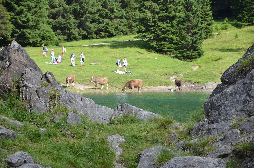 cows at obernberger see