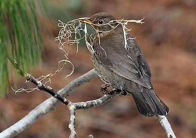 Vogel baut Nest