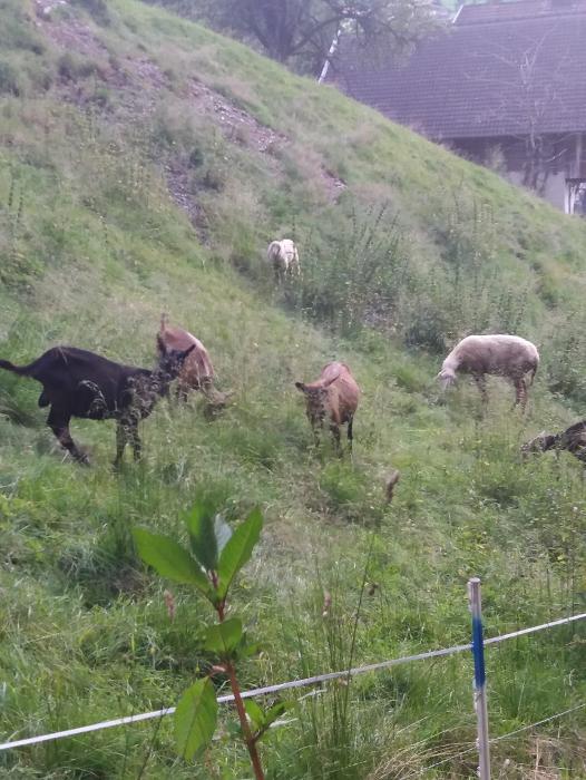 Wanderung Weerberg Tirol Ziegen