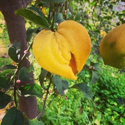 Lemon tree in garden.