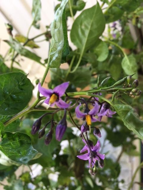Solanum dulcamara L. - Nightshade flowers