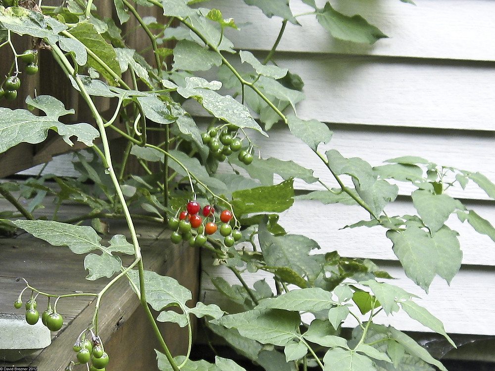 Solanum dulcamara L. - Nightshade berries