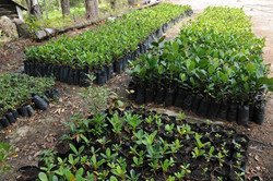 Plantas propagadas