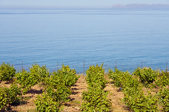 Crete vineyard on Mediterranean coast.pn