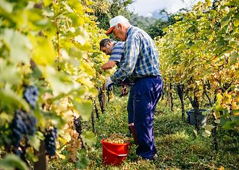 Kakheti Harvest.png