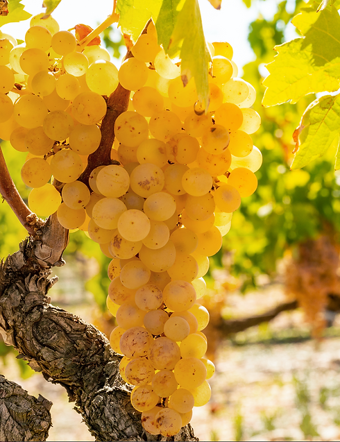 Grape vine.png