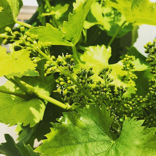 A flowering grape vine... all the little