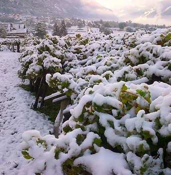 Snowy vines at Ermes Pavese.png