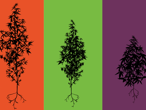 Different Strains of Cannabis - A solution to deal with the chemical drugs.
