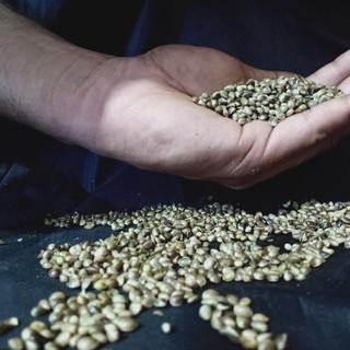 Himalayan Hemp Seeds