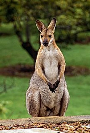 rsz_wallaby-2389791_640.jpg