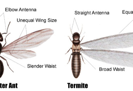 Ant vs. Termite. What's the difference?