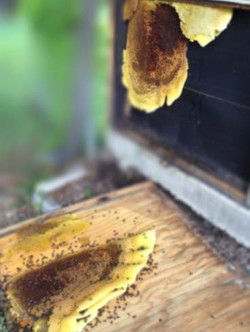 Bees_Hive_Removal