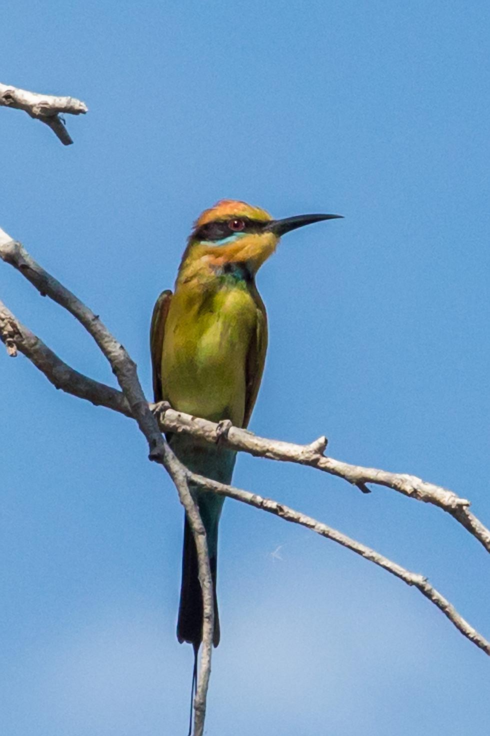 kingfisher, Kimberley