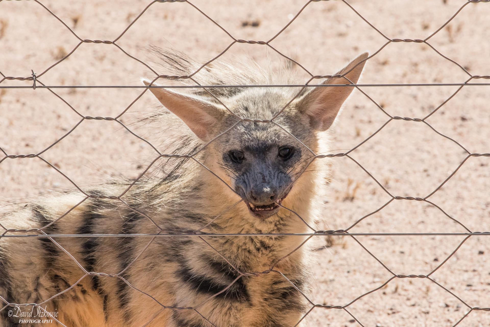 hyena biting the wire