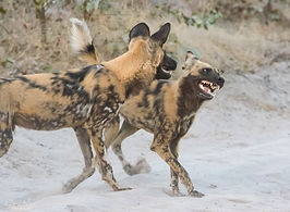 wild dogs-8.jpg