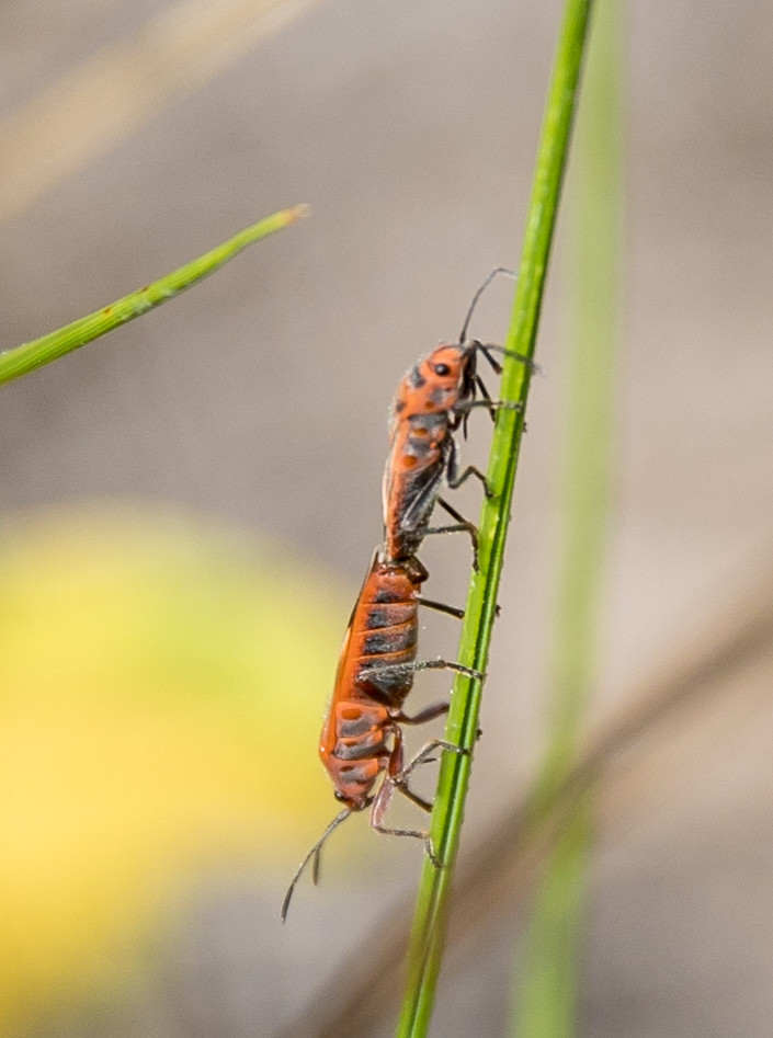 insects mating