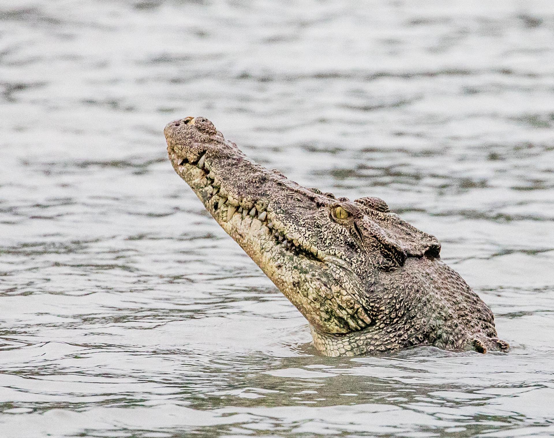 saltwater crocodile, Kimberley.