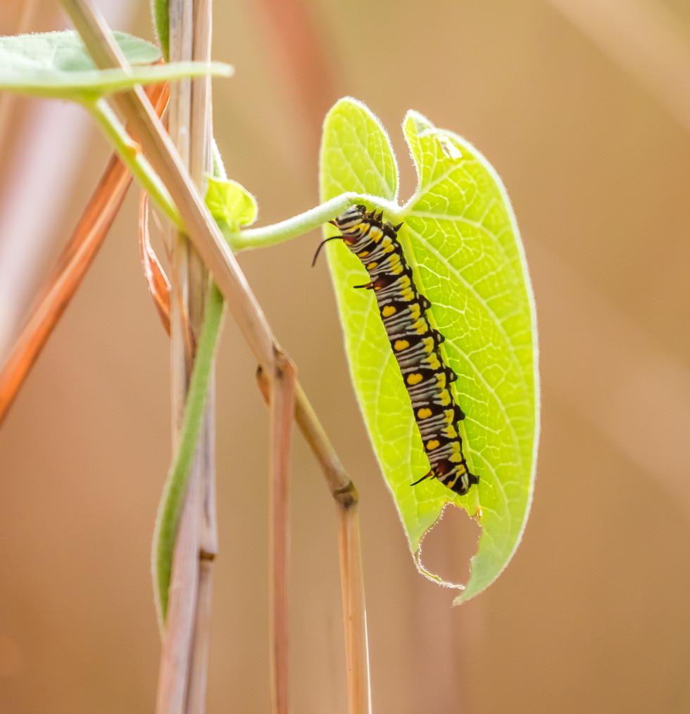 hungry caterpillar, Jar Island, Kimberley