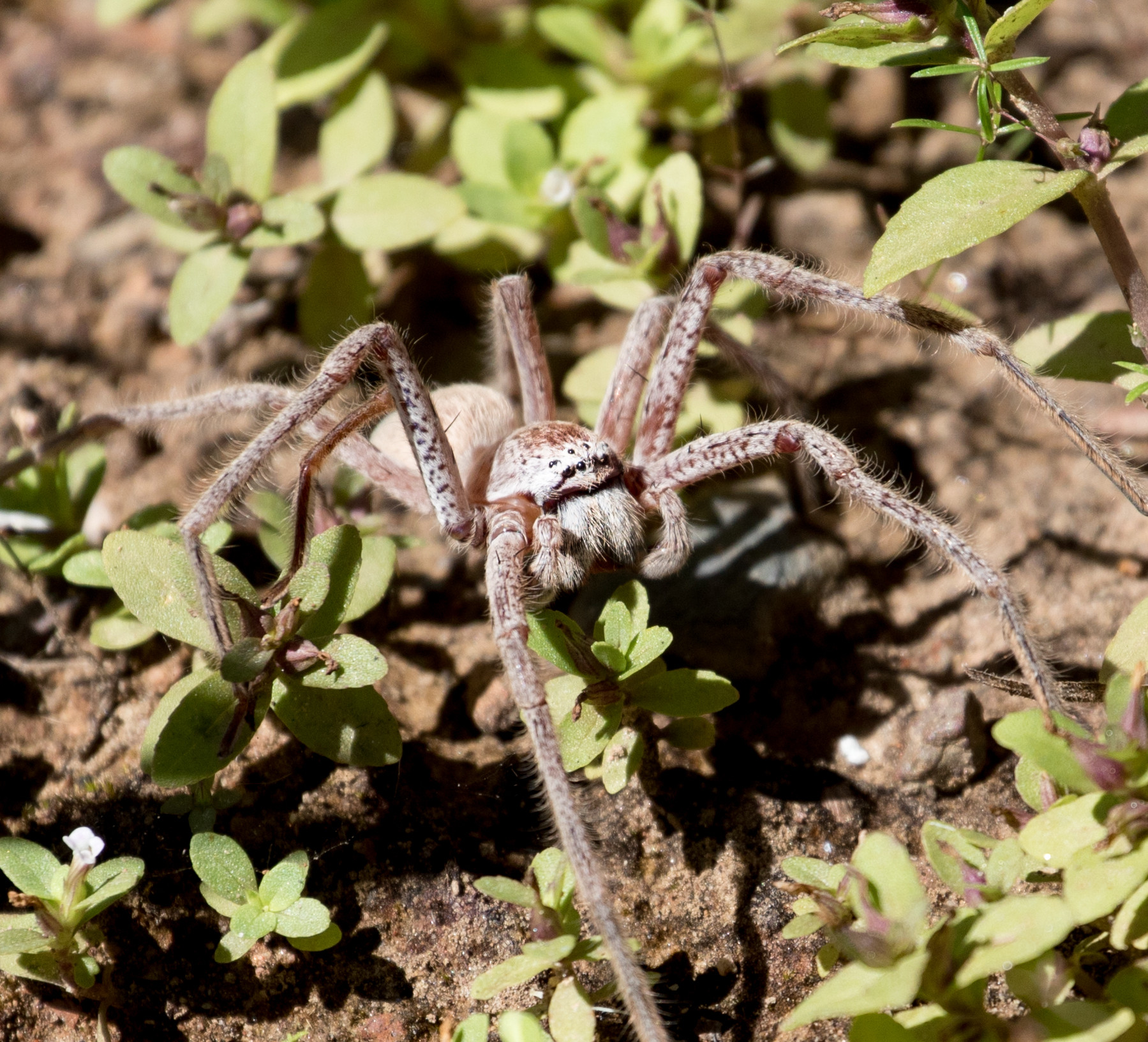 Spider, Litchfield National Park