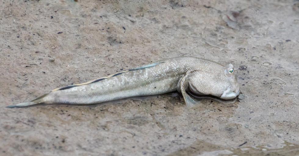 sand flipper, KImberley