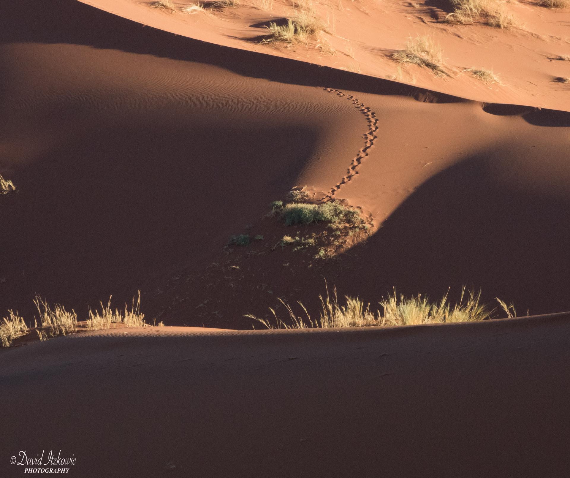 Oryx footprints in the dune