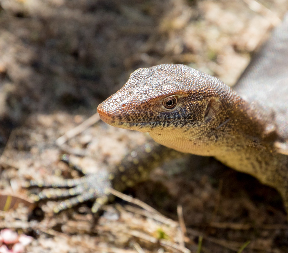 Monitor lizard, Kimberley