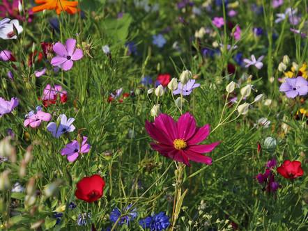 Luonnonmukaista kentänhoitoa niittykukkien avulla