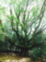 arbre_de_Brocéliande4.jpg