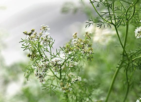 Fleur de Coriandre  (ravier de fleurs 10g)