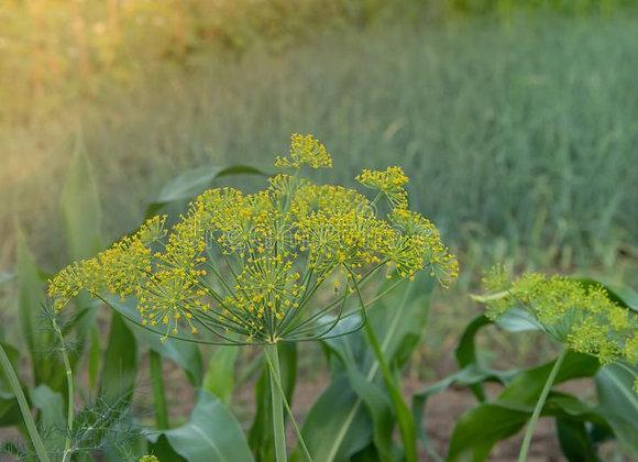 Fleur d'Aneth  (ravier de fleurs 25g)