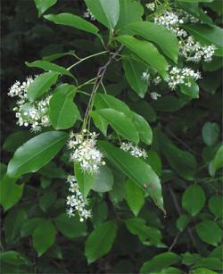 Chokcherry Blossom