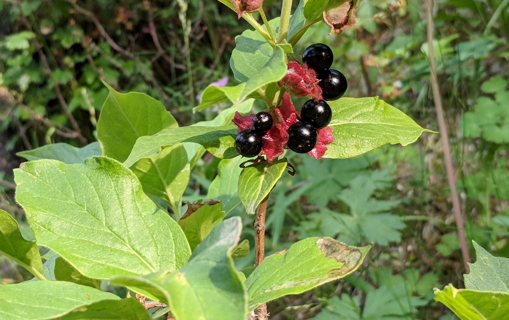 July Berries (1)