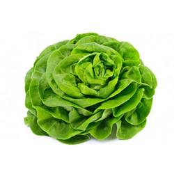 Head lettuce