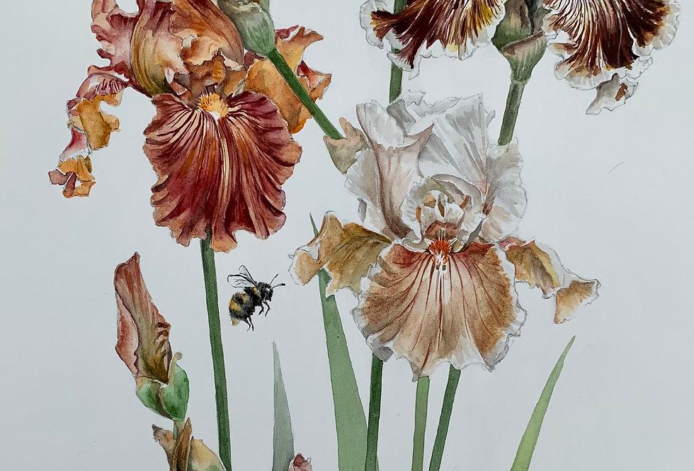 Copper Irises