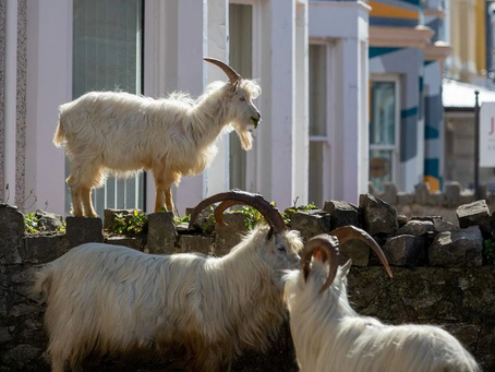 Microphones, and Goats in Llandudno