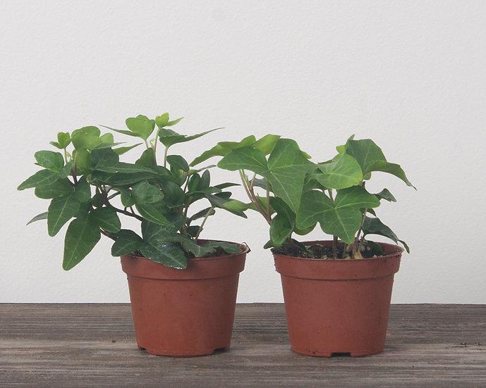 "2.25"" English Ivy - Green"