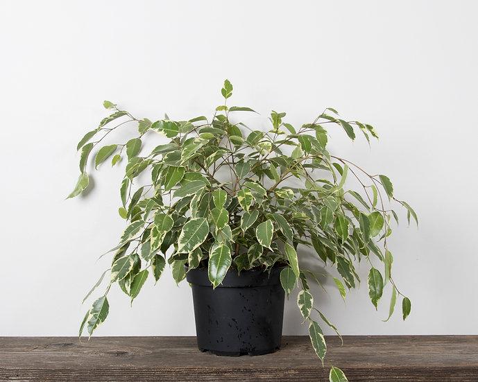 """8"""" Ficus - Weeping Fig / Bush - Variegated"""