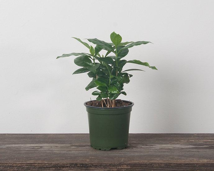 "4"" Coffee Plant"