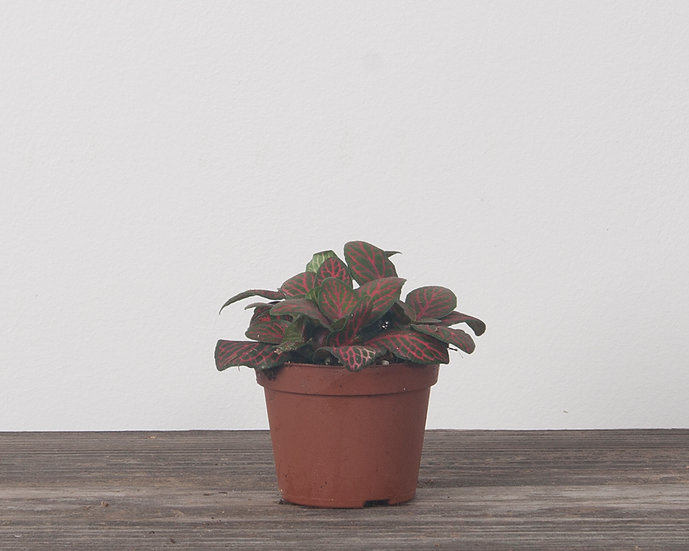 "2.25"" Nerve Plant - Red"