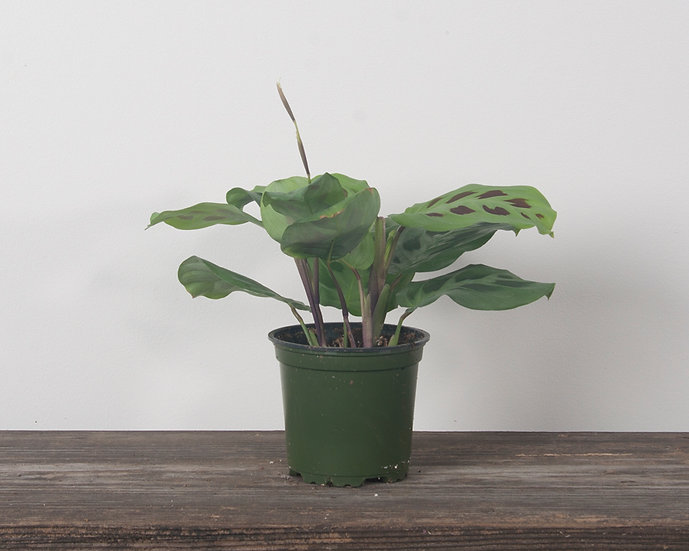 "4"" Prayer Plant - Green"