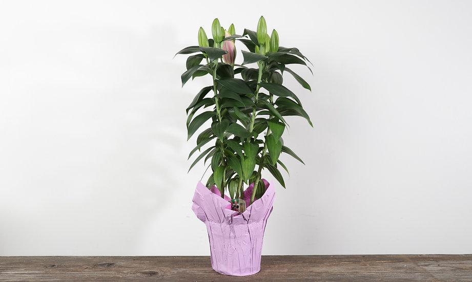 "6"" Oriental Lily"