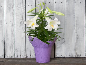 6in_Easter_Lily_copy__57268.jpg