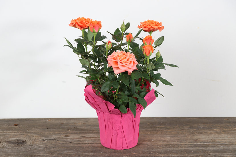 "4"" Roses"
